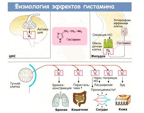 Биологическая роль гистамина