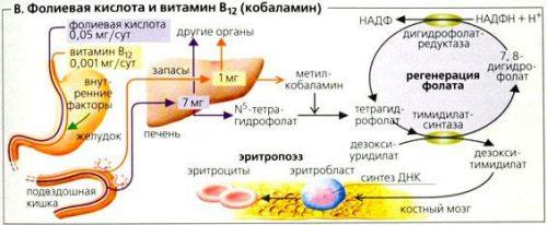 Фолиевая кислота и b12