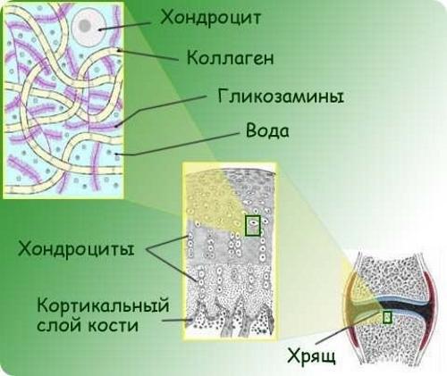 Хрящевая ткань коленного сустава