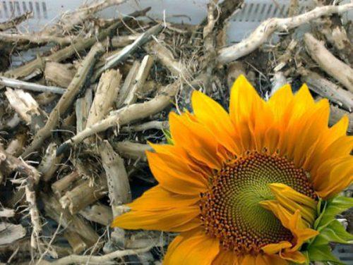 Лечение суставов корнем подсолнуха