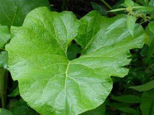 Листья лопуха при коксартрозе