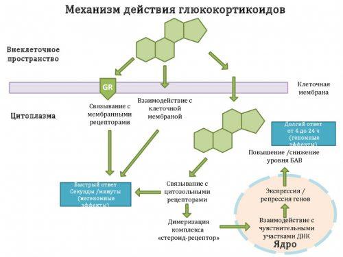Механизм действия глюкокортикоидов
