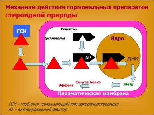 Механизм действия гормональных глюкокортикостероидов