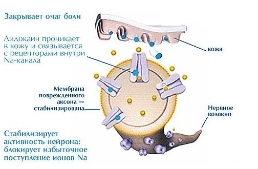 Механизм действия Лидокаина