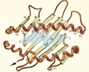 Модель антигена HLA-В27