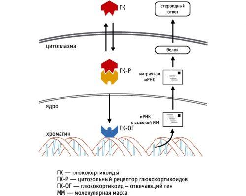 Молекулярный механизм действия глюкокортикоидов
