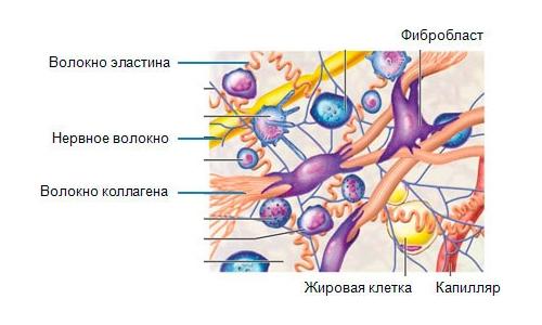 Процесс синтеза коллагена в организме