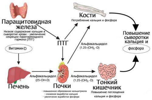 Регулирование уровня кальция и фосфора в крови паратиреоидным гормоном