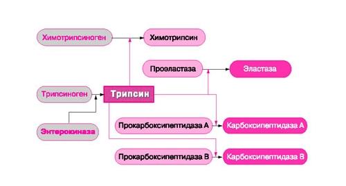 Схема активации проферментов трипсина