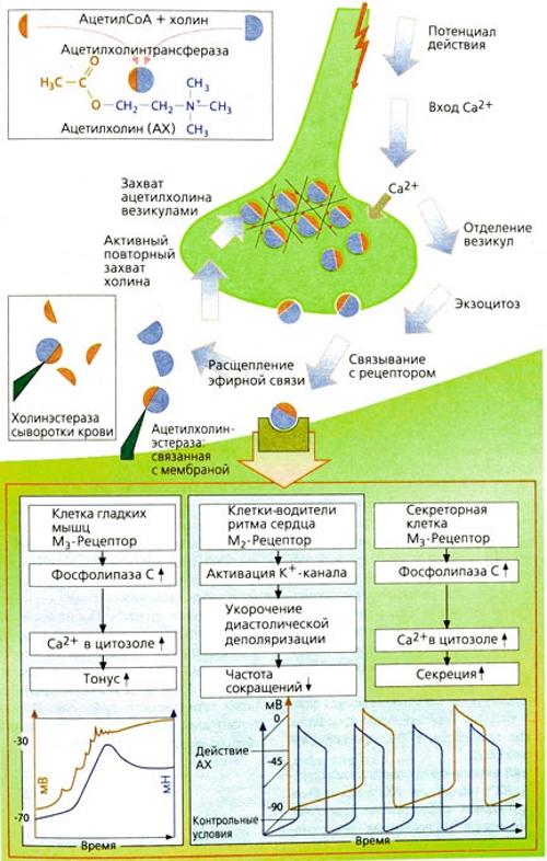 Выработка ацетилхолина