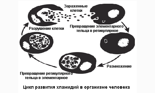 Цикл развития хламидии в организме человека