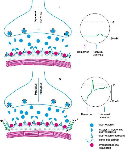 Действие миорелаксантов на синапс