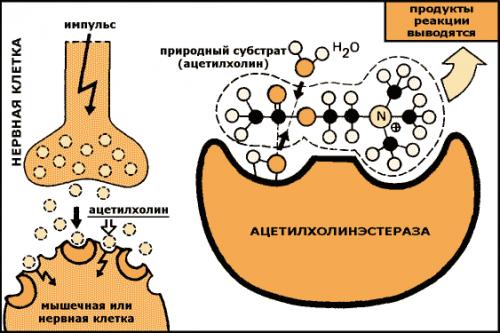 Ингибиторы ацетилхолинэстеразы