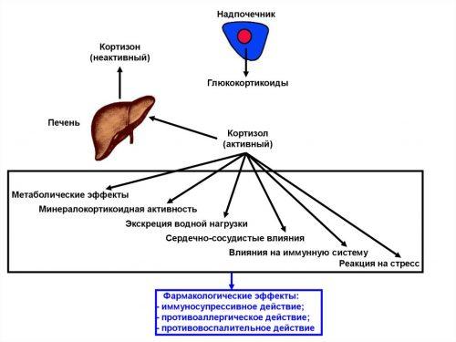 Кортизон и кортизол в надпочечниках