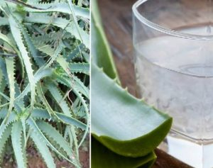 Лечение ишиаса соком агавы