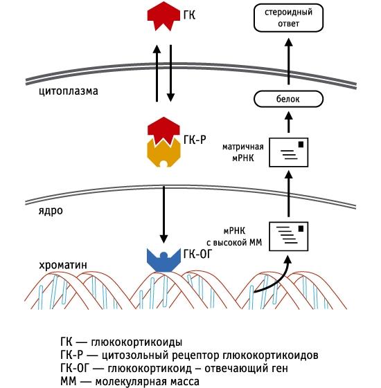 Механизм действия кортикостероидов