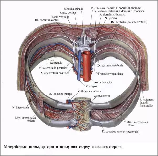 Межреберные нервы, артерии и вены