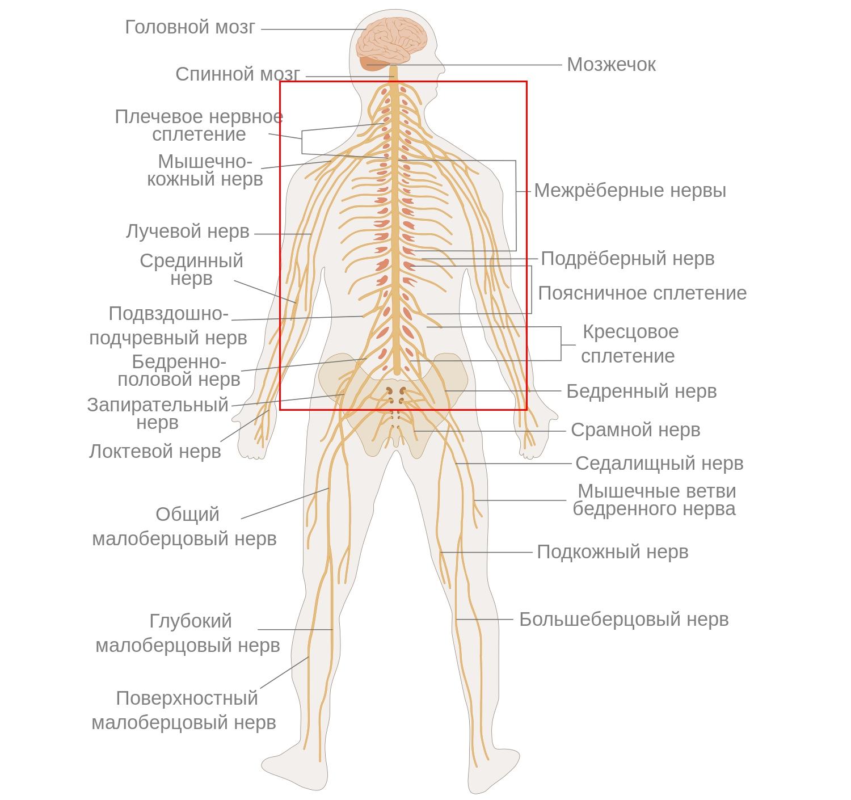 Крупные нервы спины и организма в целом