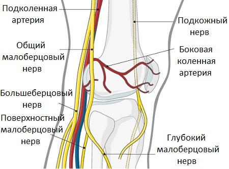 Нервы колена