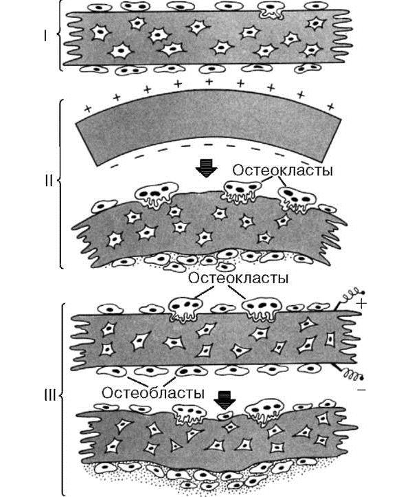 Формирование новых клеток костной ткани