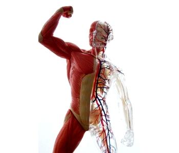 Поддержание мышечного тонуса