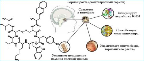 Функция соматотропина