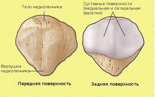 Строение коленной чашечки
