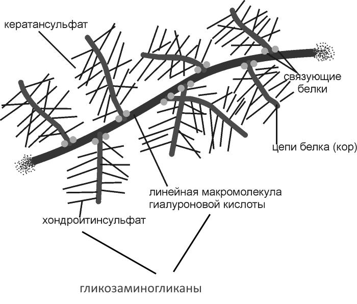 Гликозаминогликаны в структуре кости
