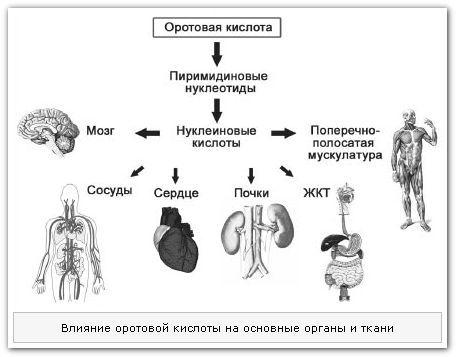 Влияние оротовой кислоты