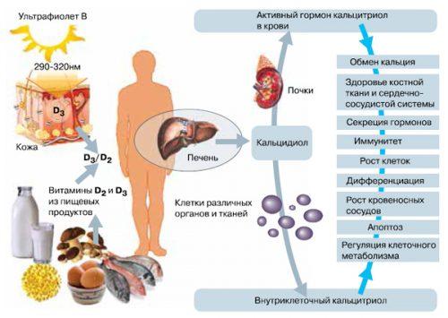 Действие внутриклеточного кальцитриола