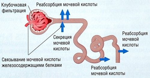 Выведение мочевой кислоты